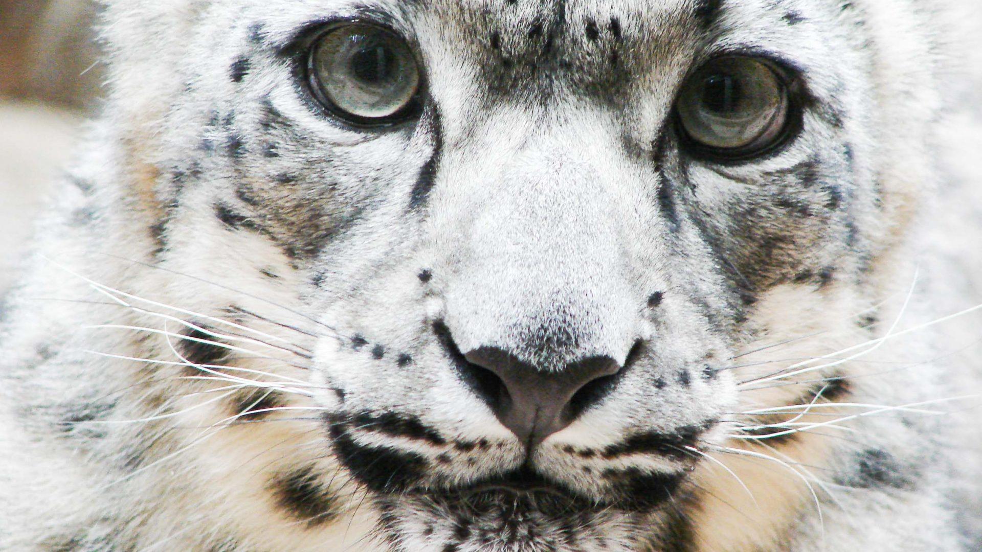 Close up of a snow leopard.