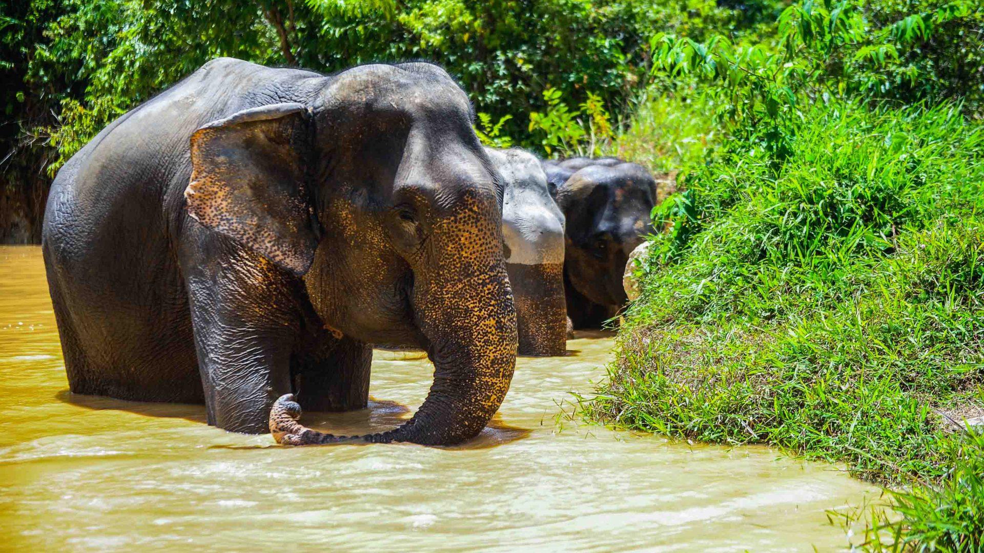 Elephants in the water.